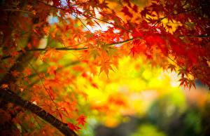 Bilder Herbst Ahorne Blatt Ast Natur
