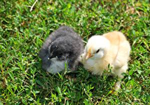 Hintergrundbilder Vögel Haushuhn Hühner Gras