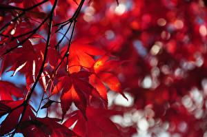 Hintergrundbilder Herbst Blattwerk Ast Ahorne Natur