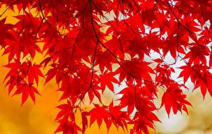 Fotos Herbst Ast Blatt Ahorne Natur