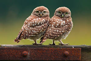 Images Owls Bird Two Animals