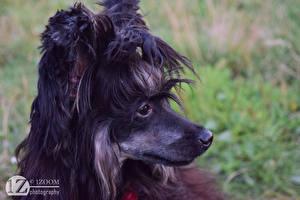 Hintergrundbilder 1ZOOM Kopf Chinese Crested Schwarz Tiere