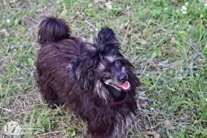 Bilder 1ZOOM Gras Chinese Crested Schwarz ein Tier