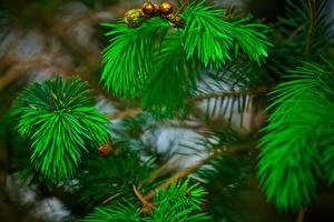 Fotos Ast Grün Pine Natur