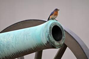 Fotos Kanone Vögel Tiere