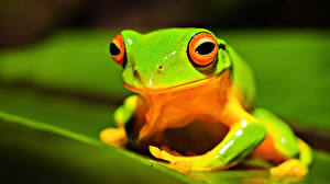 Pictures Frogs Eyes Green animal