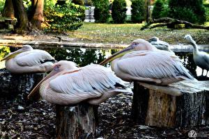 Hintergrundbilder Vogel Pelikane 1ZOOM Baumstumpf Great white