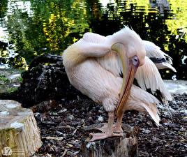 Hintergrundbilder Vögel Pelikane 1ZOOM Schnabel Baumstumpf Great white Tiere