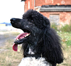Fotos Hunde 1ZOOM Pudel ein Tier