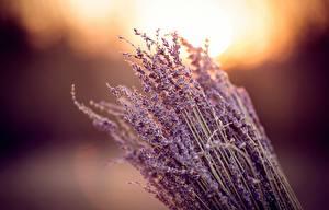 Fotos Lavendel Nahaufnahme Blüte