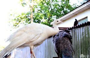 Bilder Vögel Pfauen 1ZOOM Weiß