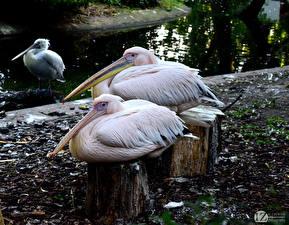 Bilder Vogel Pelikane 1ZOOM Great white