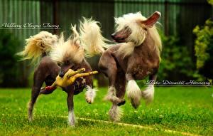 Fotos Hunde Chinese Crested Zwei Laufsport