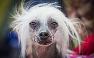 Hintergrundbilder Hunde Chinese Crested Schnauze Blick