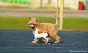 Hintergrundbilder Hunde Chinese Crested 2 Chihuahua Welpe