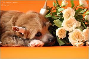 Hintergrundbilder Hunde Rosen Chinese Crested Welpe ein Tier Blumen