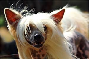 Bilder Hunde Chinese Crested Schnauze