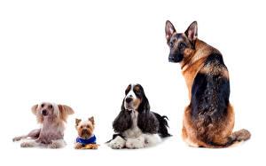 Bilder Hunde Shepherd Yorkshire Terrier Spaniel Chinese Crested