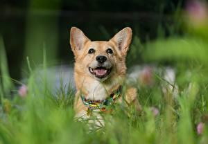 Hintergrundbilder Hunde Welsh Corgi