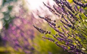 Bilder Lavendel Gras Natur