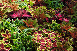 Images Coleus Closeup Leaf Flowers