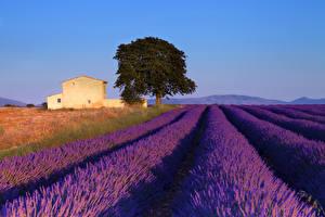 Hintergrundbilder Landschaftsfotografie Felder Lavendel Frankreich Provence Bäume Natur