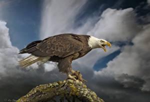 Images Birds Eagles Hawk Bald Eagle