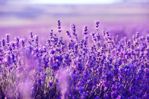 Fotos Lavendel Großansicht Violett Natur