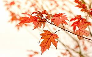 Hintergrundbilder Herbst Blatt Ast Ahorne Natur