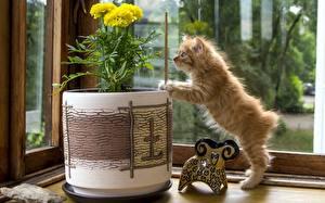 Hintergrundbilder Katze Kätzchen Fenster Fuchsrot Kurilian Bobtail Tiere