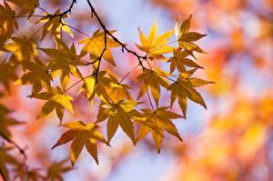 Fotos Herbst Blatt Ahorne Ast Natur