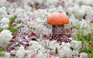 Bilder Pilze Natur Leccinum