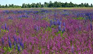 Desktop hintergrundbilder Felder Lavendel Lupinen Grünland Natur Blumen