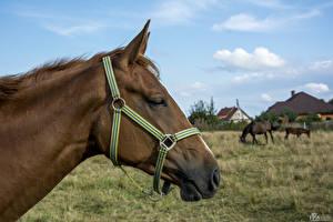 Wallpaper Horses Head 1ZOOM animal
