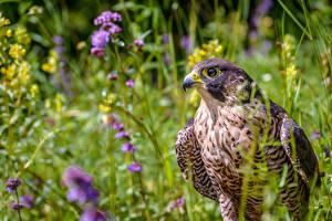 Bilder Falken Vogel Gras Falco peregrinus