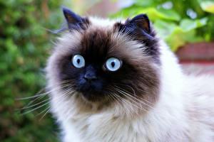 Photo Cats Eyes Glance Animals