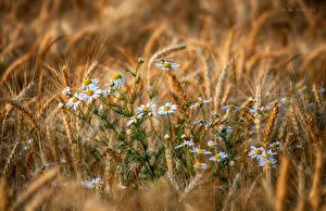 Hintergrundbilder Kamillen Acker Ähre Blumen