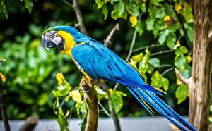Fotos Papageien Vogel Eigentliche Aras ein Tier