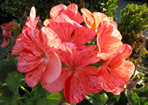 Bilder Geranien Großansicht Rosa Farbe Blüte