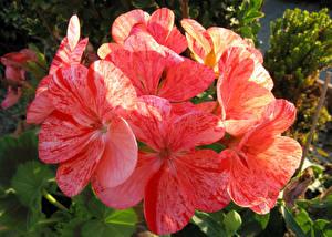 Image Geranium Closeup Pink color flower