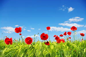 Bilder Felder Mohn Himmel Weizen Ähre Blumen Natur