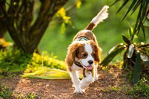 Bilder Hunde King Charles Spaniel