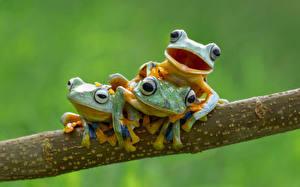 Bilder Frosche Ast Drei 3 Tiere
