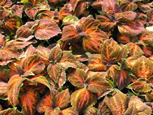Hintergrundbilder Buntnesseln Blatt Blumen