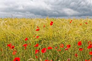 Fotos Felder Mohn Weizen Ähre Wolke