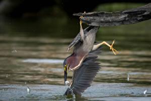 Fotos Reiher Fische Vogel Ast Butorides virescens