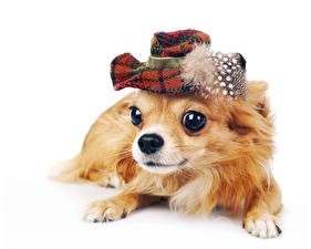 Image Dogs Chihuahua Hat Staring Animals