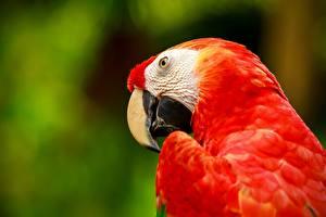 Hintergrundbilder Papageien Vögel Eigentliche Aras Rot