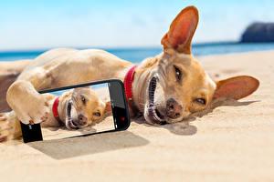 Wallpapers Dog Coast Chihuahua Smartphone Sand Selfie Animals