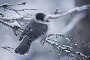 Bilder Vögel Ast Schnee ein Tier